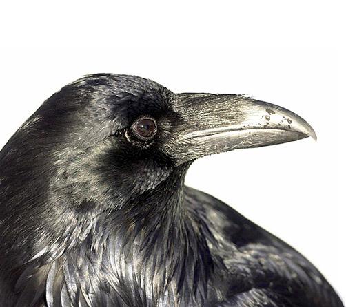 Raven-boxed